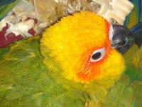 Baby Conures for sale: Sun Conure Price starting from