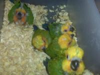 CURRENTLY HAND FEEDING A FEW BABY SUN CONURES THESE