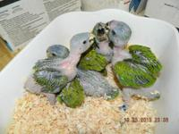 Blue Headed Pionus make excellent apartment or close