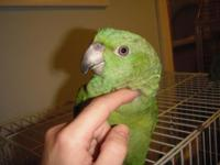 I have two yellow naped amazon.coms offered now. They