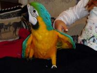 Animal Type: birds Hand raise blue and Gold Macaw