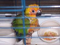 We hand-raise and sell sweet baby parrots - Two baby