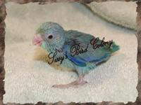 Stunning blue-green male parrotlet being hand fed.