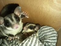 Gorgeous hand-raised sugar gliders. Male or female