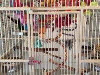 We have a Yellow Side Green Cheek with new cage and