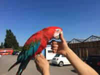 Hand reared baby Greenwing macaw silly tame extremely