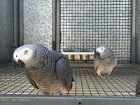 Cute tame year African grey parrots are looking for a