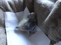 I am raising an infant Cockatiel that is currently
