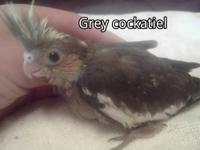 i have the following cockatiels for sale. they are