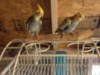 I have numerous infant cockatiels forsale. I have