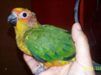 Only one still for sale handfed baby sun conure 6 weeks