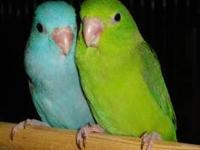I have one parrotlet left. Fully weaned baby blue
