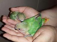 2 are available they are 5 weeks old handfeed and hand