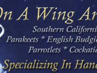 Handfed Cockatiels, Lovebirds, Linnies, English Budgies