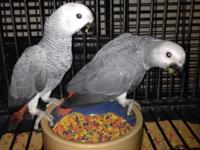 We have 1 readily available Congo Grey baby. Hatched