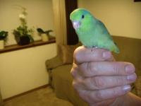 Handfed Jardines Parrot. This baby was super sweet, but