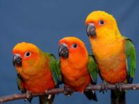 Why Pay Retail? Handfed just weaned conures raised in