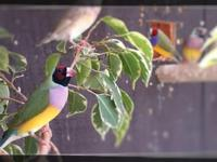 Rare handfed Lady Gouldian Finches for sale: - handfed