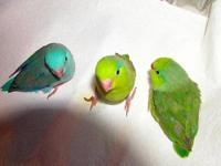 Beautiful Handfed Baby Parrotlets. Visit
