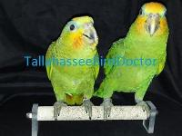 Sweet hand fed Tobago Orange wing Amazon for sale. If