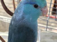 Handfed 4-5 month old Male Turquoise split Pastel