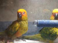 I have 2 sun conures handfeed just weened asking 500