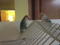 Very Pretty Tamed and Handfed LoveBirds trying to find