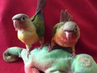 We have some beautiful baby conures for sale! They are