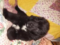Big, handsome 8 week old male black Bernewfie pup is
