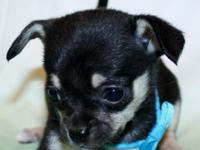 This darling little black and tan boy is available to