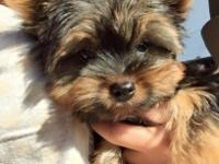 I have 1 AKC male yorkie puppy that is ready to go now!