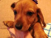 Rex is a gorgeous AKC Red wire dachshund and will be