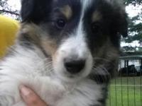 Three handsome Sheltie puppies, two sable & white, one
