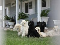 Akc Standard Poodle Puppies from Champion Lines! 1