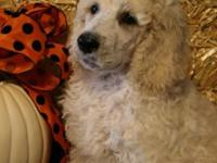 AKC standard poodle puppy. Hunter is looking for his