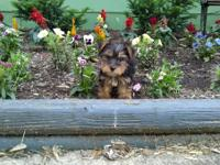 9wks AKC Yorkie male. Tail is docked. Mom is 4.5lbs and