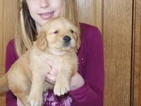 Very strong and supper Golden Retriever puppies to give