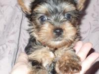 Handsome and sweet Yorkie available in Indiana/Kentucky