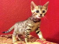 This Bengal boy was born on August 8, 2015. He is ready
