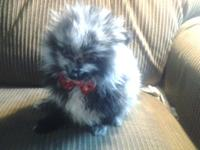 Blue merle Pomeranian young puppy for sale. He was born