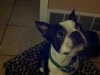 Hello, I own a Beautiful Boston Terrier named bug. He