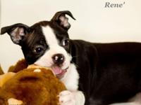 Rene' a good-looking little fella. He is a Boston