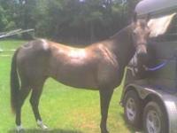'02 gelding, APHA registered Poco Strekes Buck, solid