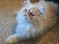 Extremely handsome strong cream Persian kitty born