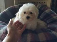 Handsome-faced male maltese, registered with CKC, 8