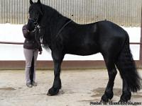 lovely black friesian gelding you can find around . he