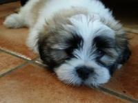 Handsome Lhasa Apso Puppy. 9 weeks old. 1st shots and