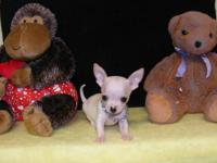 Tiny handsome little male chihuahua puppies available
