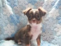 AKC male Chihuahua puppy. $750.00. Born 9/8/14. Lovely