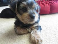 3 Male Yorkies looking for their for life homes, born